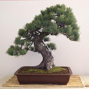 20101016165252-bonsai-03.jpg
